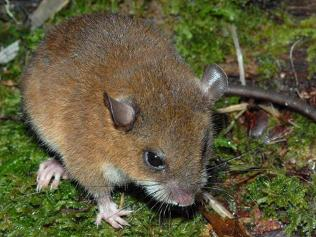 philippine mice